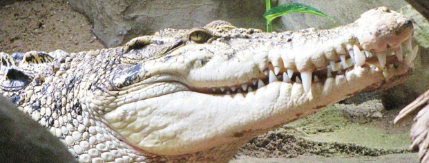 Krokodil Zoo